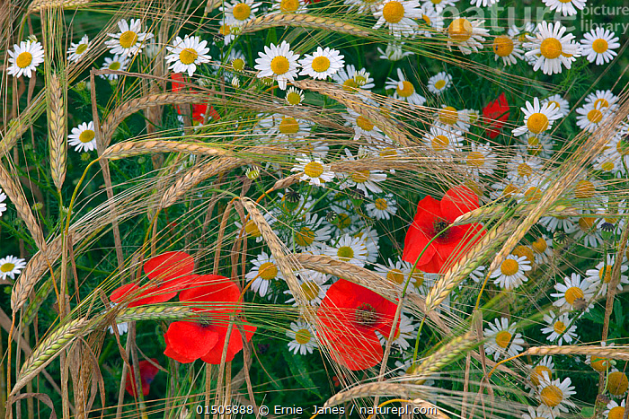 Field poppies (Papaver rhoeas) and Corn Chamomile (Anthemis arvensis) growing in organic Barley (Hordeum vulgare) crop, Norfolk, England, UK. July.  ,  catalogue8,,Plant,Vascular plant,Flowering plant,Dicot,Poppy,Common poppy,Asterid,Chamomile,Corn chamomile,Monocot,Grass,Barley,Plantae,Plant,Tracheophyta,Vascular plant,Magnoliopsida,Flowering plant,Angiosperm,Seed plant,Spermatophyte,Spermatophytina,Angiospermae,Ranunculales,Dicot,Dicotyledon,Ranunculanae,Papaveraceae,Fumariaceae,Papaver,Poppy,Stylomecon,Papaver rhoeas,Common poppy,Corn poppy,Field poppy,Red poppy,Asterales,Asterid,Asteranae,Asteraceae,Compositae,Anthemis,Chamomile,Camomile,Anthemis arvensis,Corn chamomile,Mayweed,Scentless chamomile,Anthemis agrestis,Anthemis anglica,Chamaemelum arvense,Poales,Monocot,Monocotyledon,Lilianae,Poaceae,Grass,True grass,Gramineae,Hordeum,Barley,Hordeum vulgare,Cereal barley,Common barley,Two rowed barley,Growth,Grow,Growing,Grows,Organic,Variation,Colour,Red,Nobody,Europe,Western Europe,UK,Great Britain,England,Norfolk,Close Up,Camomiles,Chamomiles,Crops,Produce,Cultivated,Cultivation,Wildflower,Wildflowers,Flower,Flowers,Poppies,Cultivated Land,Fields,Rural Scene,Countryside scene,Outdoors,Open Air,Outside,Summer,Day,Agriculture,Backgrounds,Background,Beautiful,Mixed species,Farmland,Arable,Permaculture,  ,  Ernie  Janes