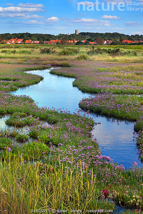 Sea lavender (Limonium vulgare) growing in saltmarsh, with Blakeney Village in the background, Norfolk, England, UK, July.  ,  high15,,Plant,Vascular plant,Flowering plant,Dicot,Leadwort,Sea lavender,Salt marshes,Plantae,Plant,Tracheophyta,Vascular plant,Magnoliopsida,Flowering plant,Angiosperm,Seed plant,Spermatophyte,Spermatophytina,Angiospermae,Caryophyllales,Dicot,Dicotyledon,Caryophyllanae,Centrospermae,Plumbaginaceae,Leadwort,Limonium,Sea lavender,Marsh rosemary,Community,Communities,Distant,Distance,Nobody,Curve,Europe,Western Europe,UK,Great Britain,England,Norfolk,Vertical,Flower,Flowers,Building,Roof,Roofs,Rooftop,Rooftops,Reflection,Flowing Water,Stream,Streams,Outdoors,Open Air,Outside,Day,Coast,Countryside,Freshwater,Wetland,Marsh,Marshland,Coastal,Water,Saltmarsh,Salt marshes,Limonium vulgare,Blakeney,  ,  Ernie  Janes
