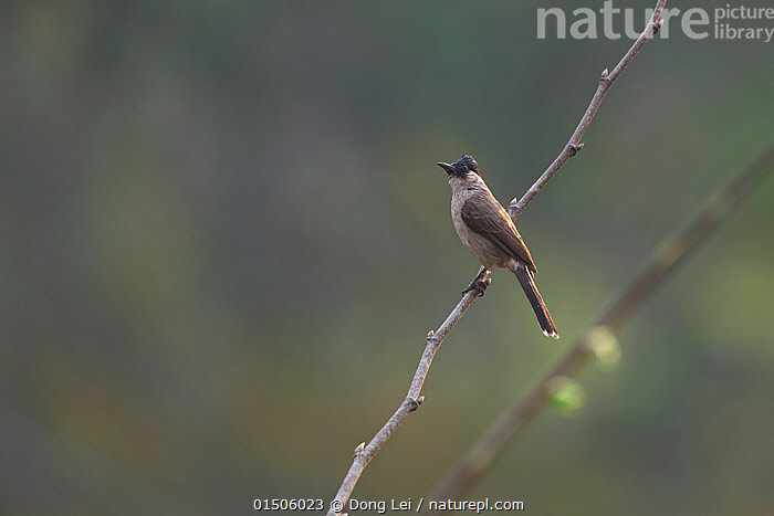 Sooty-headed Bulbul (Pycnonotus aurigaster) perched on bare branch. Xishuangbanna National Nature Reserve, Yunnan Province, China. March.  ,  Animal,Vertebrate,Birds,Songbird,Bulbul,Animalia,Animal,Wildlife,Vertebrate,Aves,Birds,Passeriformes,Songbird,Passerine,Pycnonotidae,Bulbul,Pycnonotus,Asia,East Asia,China,Copy Space,Profile,Side View,Reserve,Protected area,Yunnan Province,Negative space,Pycnonotus aurigaster  ,  Dong Lei