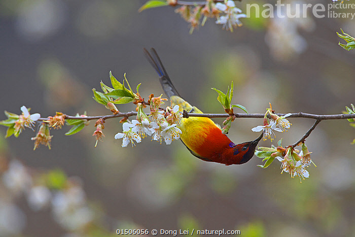 Mrs Gould's sunbird (Aethopyga gouldiae dabryii) male hanging upside down and feeding from Chinese wild peach (Prunus davidiana) male blossom, Kawakarpo Mountain, Meri Snow Mountain National Park, Yunnan Province, China. May., high15,,Animal,Vertebrate,Bird,Birds,Songbird,Sunbird,Mrs Gould's Sunbird,Animalia,Animal,Wildlife,Vertebrate,Aves,Bird,Birds,Passeriformes,Songbird,Passerine,Nectariniidae,Sunbird,Aethopyga,Pollination,Reaching,Reach,Reaches,Hanging,Balance,Persistence,Persistance,Colour,Red,Nobody,Asia,East Asia,China,Copy Space,Close Up,Male Animal,Plant,Flower,Flowers,Blossom,Outdoors,Open Air,Outside,Day,Beautiful,Feeding,Reserve,Protected area,National Park,Yunnan Province,Negative space,Meili Snow Mountain,Nectarivore,Aethopyga gouldiae,Mrs Gould's Sunbird,Aethopyga gouldiae dabryii,Kawakarpo Mountain,, Dong Lei