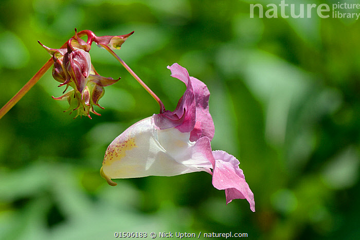 Himalayan balsam (Impatiens glandulifera) flower close up, Cornwall, UK, June.  ,  Plant,Vascular plant,Flowering plant,Asterid,Touch me not,Himalayan balsam,Plantae,Plant,Tracheophyta,Vascular plant,Magnoliopsida,Flowering plant,Angiosperm,Seed plant,Spermatophyte,Spermatophytina,Angiospermae,Ericales,Asterid,Dicot,Dicotyledon,Asteranae,Balsaminaceae,Impatiens,Touch me not,Impatiens glandulifera,Himalayan balsam,Ornamental jewelweed,Impatiens roylei,Balsamina macrochila,Balsamina glandulifera,Colour,Pink,Europe,Western Europe,UK,Great Britain,England,Dorset,Profile,Close Up,Side View,Camera Focus,Selective Focus,Focus On Foreground,Focus On Foregrounds,Flower,Shallow depth of field,Low depth of field  ,  Nick Upton