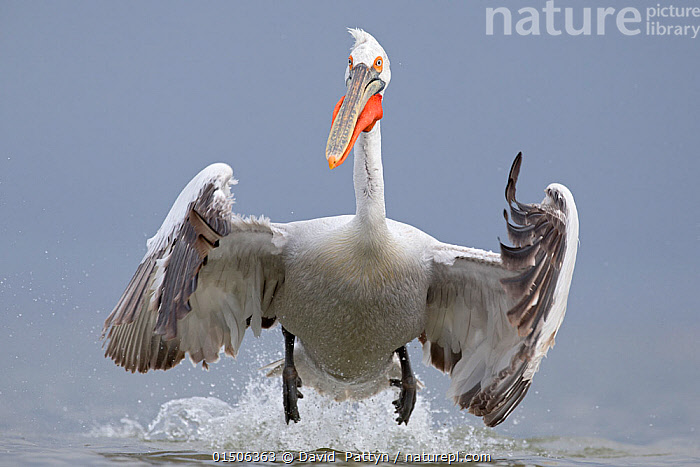 Dalmatian pelican (Pelecanus crispus) taking off from water, Lake Kerkini, Greece. February. Vulnerable species.  ,  catalogue8,,Animal,Vertebrate,Bird,Birds,Pelican,Dalmatian pelican,Animalia,Animal,Wildlife,Vertebrate,Aves,Bird,Birds,Pelecaniformes,Pelecanidae,Pelican,Pelecanus,Pelecanus crispus,Dalmatian pelican,Splashing,Taking Off,Adversity,Difficult,Difficulty,Determination,Preparation,Strength,Nobody,Europe,Southern Europe,Greece,Coloured Background,Grey Background,Gray Background,Front View,View From Front,Wing,Wings,Outdoors,Open Air,Outside,Day,Nature,Natural,Natural World,Freshwater,Lake,Water,Lake Kerkini,Seabird,Seabirds,Marine bird,Marine birds,Pelagic bird,Pelagic birds,Endangered species,threatened,Vulnerable  ,  David  Pattyn