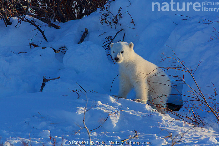 Polar bear (Ursus maritimus) cub at entrance to den, Manitoba, Canada. March.  ,  high15,,Animal,Vertebrate,Mammal,Carnivore,Bear,Polar bear,Animalia,Animal,Wildlife,Vertebrate,Mammalia,Mammal,Carnivora,Carnivore,Ursidae,Bear,Ursus,Ursus maritimus,Polar bear,Ursus labradorensis,Ursus marinus,Ursus polaris,Curiosity,Emergence,Coming Out,Emergance,Emerge,Emerges,Emerging,Colour,White,Nobody,Temperature,Cold,North America,Canada,Manitoba,Young Animal,Juvenile,Babies,Baby Mammal,Cub,Hair,Fur,Entrance,Animal Den,Den,Light,Lights,Sunlight,Snow,Outdoors,Open Air,Outside,Day,White colour,Animal Hair,Endangered species,threatened,Vulnerable  ,  Todd  Mintz