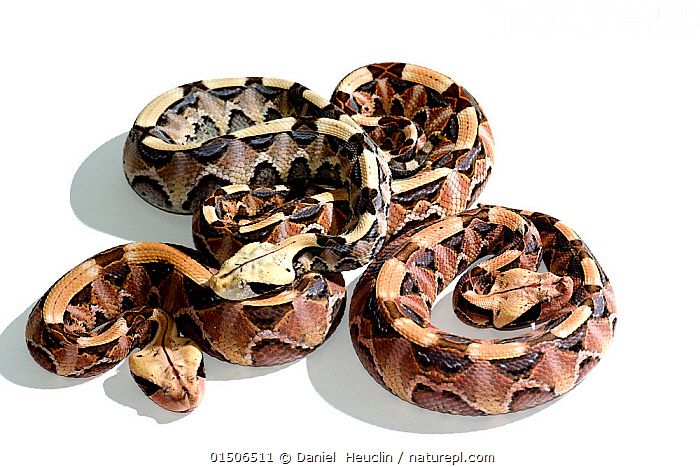 Nature Picture Library Rhinoceros Viper Bitis Rhinoceros Hatchlings On White Background Captive Occurs In West Africa Daniel Heuclin