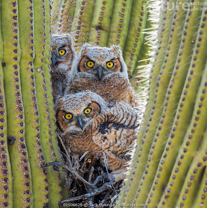 Great horned owl (Bubo virginianus) chicks nesting in saguaro cactus (Carnegiea gigantea), near Oracle, Sonoran Desert, Arizona, USA, May., high15,,Plant,Vascular plant,Flowering plant,Dicot,Cactus,Saguaro,Saguaro cactus,Animal,Vertebrate,Bird,Birds,Owl,True owl,Great horned owl,American,Plantae,Plant,Tracheophyta,Vascular plant,Magnoliopsida,Flowering plant,Angiosperm,Seed plant,Spermatophyte,Spermatophytina,Angiospermae,Caryophyllales,Dicot,Dicotyledon,Caryophyllanae,Centrospermae,Cactaceae,Cactus,Carnegiea,Saguaro,Carnegiea gigantea,Saguaro cactus,Cereus giganteus,Pilocereus engelmannii,Pilocereus giganteus,Animalia,Animal,Wildlife,Vertebrate,Aves,Bird,Birds,Strigiformes,Owl,Bird of prey,Strigidae,True owl,Typical owl,Striginae,Bubo,Bubo virginianus,Great horned owl,Strix virginiana,Rebellion,Disobedience,Disobedient,Rebel,Rebellions,Rebels,Revolutionary,Few,Three,Group,Nobody,Spike,Spiked,Spikes,Spikey,Spiky,North America,USA,Western USA,Southwest US,Arizona,Vertical,Close Up,Front View,View From Front,Young Animal,Juvenile,Babies,Chick,Owlet,Owlets,Succulent,Succulents,Cacti,Nest,Nesting,Desert,Deserts,Outdoors,Open Air,Outside,Day,Yellow Eyes,Direct Gaze,Three Animals,Unfriendly,Eye colour,Prickly,American,United States of America,Sonoran Desert National Monument,, Jack Dykinga