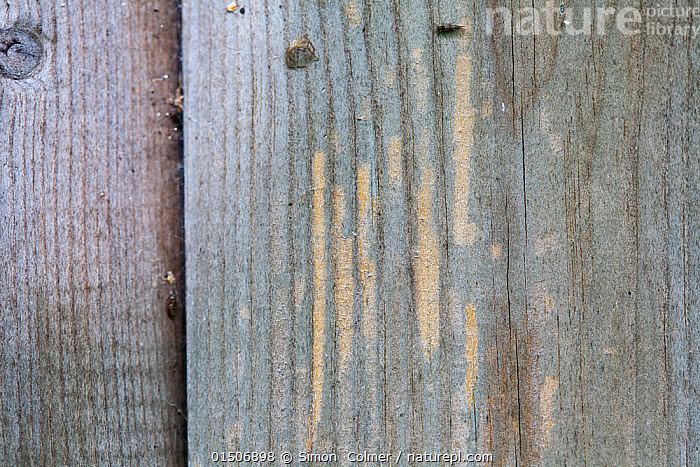 Planks on building showing feeding marks of wasps and hornets, which chew the wood to make pulp for their nests. Sussex, UK, May.  ,  Animal,Arthropod,Insect,Wasp,Animalia,Animal,Wildlife,Hexapoda,Arthropod,Invertebrate,Hexapod,Arthropoda,Insecta,Insect,Hymenoptera,Hymenopterans,Wasp,Wasps,Vespidae,Hunting wasp,Vespoid wasp,Bite Marks,Bitten,Europe,Western Europe,UK,Great Britain,England,Sussex  ,  Simon  Colmer