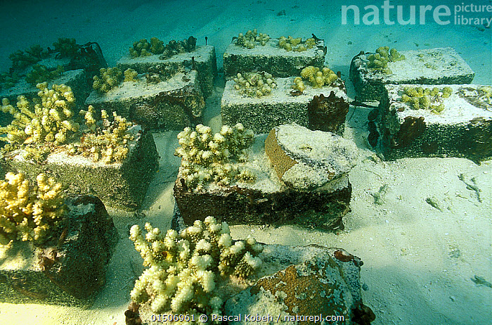 Corals glued with concrete and placed in warmer shallower waters to test how they respond to the increase in temperature, Vabbinfaru Island, North Male Atoll, Maldives, Indian Ocean. September 2005.  ,  catalogue8,,Animal,Cnidarian,Anthrozoan,Coral,Hard coral,Animalia,Animal,Wildlife,Cnidaria,Cnidarian,Coelentrerata,Anthozoa,Anthrozoan,Helioporacea,Coral,Scleractinia,Hard coral,Research,Researching,Fake,Artificial,Artificiality,Fakes,False,Replicas,Shallow,Group,Medium Group,Nobody,Asia,Maldive Islands,Republic of Maldives,Construction Material,Concrete,Tropical,Sea Floor,Seabed,Reef,Reefs,Coral Reef,Coral Reefs,Ocean,Indian Ocean,Environment,Environmental Issues,Global Warming,Greenhouse Effect,Restoration,Science,Marine,Underwater,Water,Conservation,Saltwater,Tropics,Nature Reclamation,Nature taking over,Climate change,Medium Group of Objects,Artificial Reef,North Male Atoll,Invertebrate,Invertebrates,Marine  ,  Pascal Kobeh