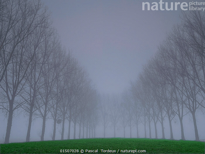 Avenue of Poplar (Populus sp) trees in fog, Villers Le Sec, Aisne, Picardy, France, December.  ,  catalogue8,,Plant,Vascular plant,Flowering plant,Rosid,Cottonwood tree,Plantae,Plant,Tracheophyta,Vascular plant,Magnoliopsida,Flowering plant,Angiosperm,Seed plant,Spermatophyte,Spermatophytina,Angiospermae,Malpighiales,Rosid,Dicot,Dicotyledon,Rosanae,Salicaceae,Populus,Cottonwood tree,Cottonwood,Mood,Gloomy,Mystery,Mysterious,Symmetry,Gray,Distant,Distance,Nobody,Europe,Western Europe,France,Picardy,Diminishing Perspective,Grass Family,Grass,Grasses,Tree,Bare Tree,Bare Trees,Road,Urban Road,Street,Street Scene,Streets,Avenue,Avenues,Treelined,Line Of Trees,Tree-Lined,Weather,Mist,Rural Scene,Countryside scene,Landscape,Landscapes,Outdoors,Open Air,Outside,Winter,Day,Nature,Natural,Natural World,Bad Weather,Severe weather,Picardie,Aisne,Villiers Le Sec,Tree,Trees  ,  Pascal  Tordeux