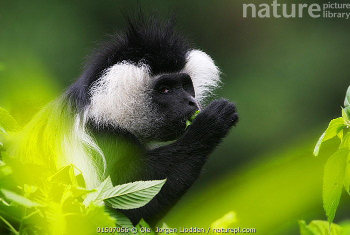 L'Hoest's monkey (Cercopithecus lhoesti) feeding on leaves, Rwanda.  ,  high15,,Animal,Vertebrate,Mammal,Monkey,Guenon,L'Hoest's Guenon,Animalia,Animal,Wildlife,Vertebrate,Mammalia,Mammal,Primate,Primates,Cercopithecidae,Monkey,Old World Monkeys,Cercopithecus,Guenon,Cercopithecus lhoesti,L'Hoest's Guenon,L�hoest�s Monkey,L'Hoest's Monkey,Mountain Monkey,Cercopithecus rutschuricus,Cercopithecus thomasi,Gesturing,Hand Covering Mouth,Hand On Mouth,Hand Touching Mouth,Hands Covering Mouth,Hands On Mouth,Hands On Mouths,Hands Over Mouth,Hands Touching Mouth,Criminal,Thief,Hairstyle,Hairstyles,Nobody,Fluffy,Pattern,Patterned,Patterns,Africa,East Africa,Rwanda,Republic of Rwanda,Profile,Close Up,Side View,Portrait,Camera Focus,Selective Focus,Focus On Background,Focus On Backgrounds,Plant,Leaf,Foliage,Outdoors,Open Air,Outside,Day,Feeding,Shallow depth of field,Low depth of field,Animal marking,Bandit,  ,  Ole  Jorgen Liodden