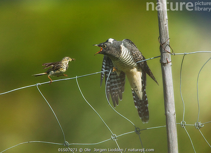 Meadow pipit (Anthus pratensis) feeding young Eurasian cuckoo (Cuculus canorus), Valdres, Norway, July., high15,,Animal,Vertebrate,Bird,Birds,Cuckoo,European cuckoo,Songbird,Pipit,Meadow pipit,Animalia,Animal,Wildlife,Vertebrate,Aves,Bird,Birds,Cuculiformes,Cuculidae,Cuckoo,Cuculus,Cuculus canorus,European cuckoo,Common cuckoo,Grey cuckoo,Eurasian cuckoo,Passeriformes,Songbird,Passerine,Motacillidae,Anthus,Pipit,Anthus pratensis,Meadow pipit,Arguing,Yelling,Yells,Bully,Bullies,Bullying,Help,Friendship,Hunger,Appetite,Hungry,Two,Nobody,Parasitic,Europe,Northern Europe,North Europe,Nordic Countries,Scandinavia,Norway,Young Animal,Juvenile,Babies,Chick,Boundary,Fence,Outdoors,Open Air,Outside,Day,Parasite,Animal Behaviour,Feeding,Parental behaviour,Behaviour,Parental,Unlikely friends,Unusual friends,Two animals,Nagging,Valdres,, Ole  Jorgen Liodden