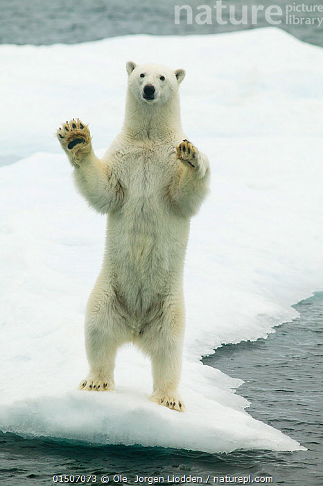 Polar bear (Ursus maritimus) waving standing on hind legs with paws raised, Svalbard, Norway, September., high15,,Animal,Vertebrate,Mammal,Carnivore,Bear,Polar bear,Animalia,Animal,Wildlife,Vertebrate,Mammalia,Mammal,Carnivora,Carnivore,Ursidae,Bear,Ursus,Ursus maritimus,Polar bear,Ursus labradorensis,Ursus marinus,Ursus polaris,Standing,Humorous,The End,Closure,Closures,Surrender,Surrendering,Colour,White,Nobody,Stuck,Europe,Northern Europe,North Europe,Nordic Countries,Scandinavia,Norway,Svalbard,Arctic,Polar,Full Length,Full Lengths,Whole,Vertical,Animal Limbs,Limb,Animal Feet,Feet,Foot,Paw,Paws,Hair,Fur,Snow,Outdoors,Open Air,Outside,Day,Marine,Water,Saltwater,Sea,Standing on hind legs,Ventral view,Underside,White colour,Animal Hair,Endangered species,threatened,Vulnerable, Ole  Jorgen Liodden