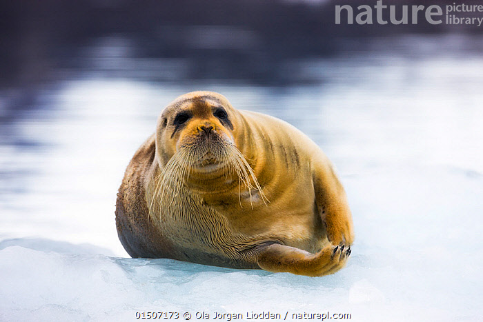 Bearded seal (Erignathus barbatus) hauled out on ice, Spitsbergen, Svalbard, Norway, July.  ,  high15,,Animal,Vertebrate,Mammal,Carnivore,True seal,Bearded seal,Animalia,Animal,Wildlife,Vertebrate,Mammalia,Mammal,Carnivora,Carnivore,Phocidae,True seal,Pinnipeds,pinnipedia,Erignathus,Erignathus barbatus,Bearded seal,Phoca barbata,Adversity,Difficult,Difficulty,Sadness,Alone,Solitude,Solitary,Nobody,Weight,Heavy,Heaviness,Europe,Northern Europe,North Europe,Nordic Countries,Scandinavia,Norway,Svalbard,Arctic,Polar,Front View,View From Front,Portrait,Animal Nose,Nose,Noses,Ice,Outdoors,Open Air,Outside,Day,Whiskers,Direct Gaze,Awkward,Hauled out,Spitsbergen,Overweight,Marine,,eye contact,  ,  Ole  Jorgen Liodden