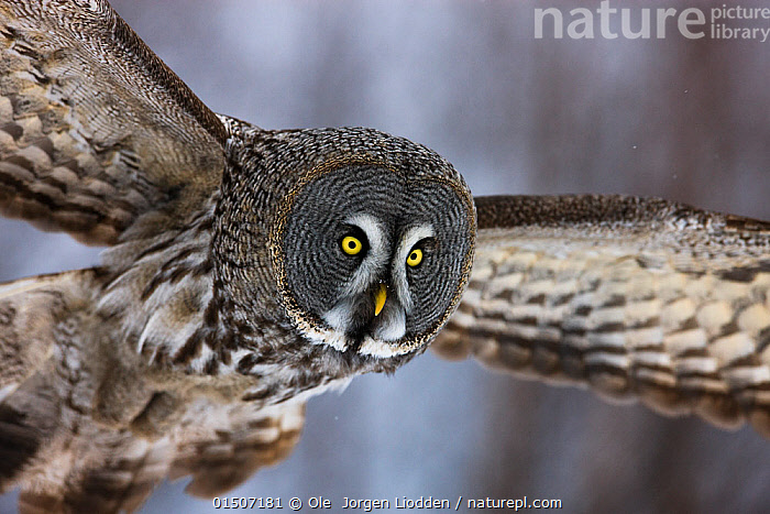 Great grey owl (Strix nebulosa lapponica) in flight, close up, Finland, March., high15,,Animal,Vertebrate,Bird,Birds,Owl,True owl,Great grey owl,Animalia,Animal,Wildlife,Vertebrate,Aves,Bird,Birds,Strigiformes,Owl,Bird of prey,Strigidae,True owl,Typical owl,Striginae,Strix,Strix nebulosa,Great grey owl,Dark wood owl,Lapland owl,Flying,Determination,Nobody,Serious,Europe,Northern Europe,North Europe,Nordic Countries,Finland,Close Up,Front View,View From Front,Feather,Feathers,Wing,Wings,Outdoors,Open Air,Outside,Day,Animal Behaviour,Predation,Hunting,Behaviour,Flight,Wings spread,Wingspan,Plumage,Yellow Eyes,Eye colour,, Ole  Jorgen Liodden
