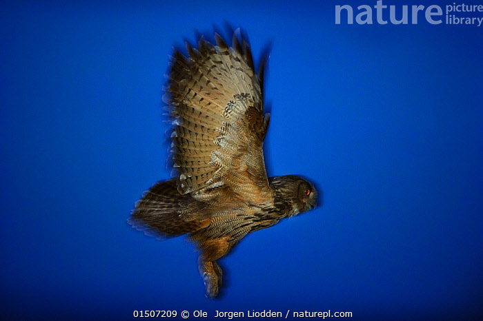 Eurasian eagle-owl (Bubo bubo) in flight, Norway, July.  ,  high15,,Animal,Vertebrate,Bird,Birds,Owl,True owl,Eagle owl,Animalia,Animal,Wildlife,Vertebrate,Aves,Bird,Birds,Strigiformes,Owl,Bird of prey,Strigidae,True owl,Typical owl,Striginae,Bubo,Bubo bubo,Eagle owl,Eurasian eagle owl,Common eagle owl,Great eagle owl,Northern eagle owl,Flying,Determination,Stealth,Strength,Nobody,Vibrant Colour,Serious,Europe,Northern Europe,North Europe,Nordic Countries,Scandinavia,Norway,Coloured Background,Blue Background,Profile,Vertical,Side View,Wing,Wings,Outdoors,Open Air,Outside,Twilight,Night,Day,Flight,Bandit,Wings Up,  ,  Ole  Jorgen Liodden