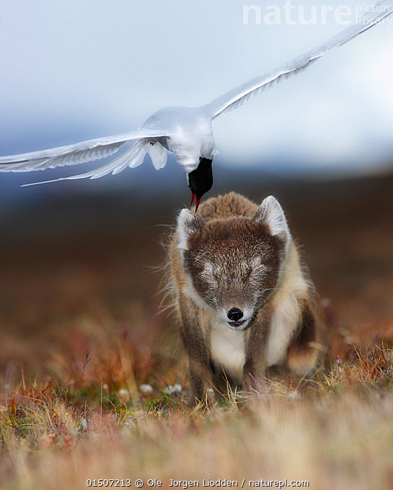 Arctic tern (Sterna paridisea) mobbing, Arctic fox (Alopex lagopus) in Spitsbergen, Svalbard, Norway, July.  ,  catalogue8,,Animal,Vertebrate,Bird,Birds,Mammal,Carnivore,Canid,True fox,Arctic fox,Animalia,Animal,Wildlife,Vertebrate,Aves,Bird,Birds,Mammalia,Mammal,Carnivora,Carnivore,Canidae,Canid,Vulpes,True fox,Vulpini,Caninae,Vulpes lagopus,Arctic fox,Polar fox,Blue fox,Ice fox,White fox,Alopex lagopus,Canis lagopus,Pecking,Peck,Pecks,Gesturing,Eyes Closed,Closed Eye,Closed Eyes,Eye Closed,Eye Shut,Eyes Shut,Shut Eyes,Bully,Bullies,Bullying,Pain,Hurt,Hurting,Painful,Meaness,Meanness,Two,Nobody,Europe,Northern Europe,North Europe,Nordic Countries,Scandinavia,Norway,Svalbard,Arctic,Polar,Vertical,Wing,Wings,Plain,Plains,Outdoors,Open Air,Outside,Day,Nature,Natural,Natural World,Wild,Animal Behaviour,Aggression,Defensive,Mixed species,Behaviour,Mobs,Mob,Wings spread,Wingspan,Two animals,Spitsbergen,Tolerance,  ,  Ole  Jorgen Liodden