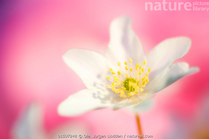 White anemone (Anemone nemorosa) against pink background, Ringerike, Norway, May., catalogue8,,Plant,Vascular plant,Flowering plant,Dicot,Anemone,Wood anemone,Plantae,Plant,Tracheophyta,Vascular plant,Magnoliopsida,Flowering plant,Angiosperm,Seed plant,Spermatophyte,Spermatophytina,Angiospermae,Ranunculales,Dicot,Dicotyledon,Ranunculanae,Ranunculaceae,Anemone,Anemone nemorosa,Wood anemone,Thimbleweed,European Thimbleweed,Smell Fox,Anemonidium nemorosum,Anemone intermedia,Anemanthus nemorosus,Ranunculus nemorosus,Anemone amurensis,Growth,Grow,Growing,Grows,Innocence,Innocent,Optimism,Optimistic,Purity,Colour,Pink,White,Nobody,Pastel,Europe,Northern Europe,North Europe,Nordic Countries,Scandinavia,Norway,Coloured Background,Pink Background,Close Up,Flower,Flowers,Outdoors,Open Air,Outside,White colour,One Object,Flowerhead,Ringerike,, Ole  Jorgen Liodden