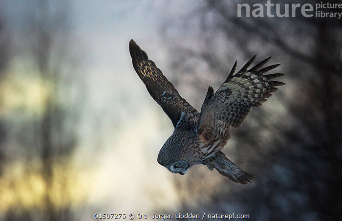 Great grey owl (Strix nebulosa lapponica) hunting in flight, Lapland, Finland, March.  ,  high15,,Animal,Vertebrate,Bird,Birds,Owl,True owl,Great grey owl,Animalia,Animal,Wildlife,Vertebrate,Aves,Bird,Birds,Strigiformes,Owl,Bird of prey,Strigidae,True owl,Typical owl,Striginae,Strix,Strix nebulosa,Great grey owl,Dark wood owl,Lapland owl,Diving,Flying,Courage,Brave,Bravery,Daring,Focus,Direction,Colour,Grey,Gray,Upside Down,Inverted,Upturned,Nobody,Europe,Northern Europe,North Europe,Nordic Countries,Finland,Feather,Feathers,Wing,Wings,Outdoors,Open Air,Outside,Day,Habitat,Animal Behaviour,Predation,Hunting,Forest,Behaviour,Flight,Wings spread,Wingspan,Tail Feather,Purpose,Focused,Lapland,Strix nebulosa lapponica,  ,  Ole  Jorgen Liodden