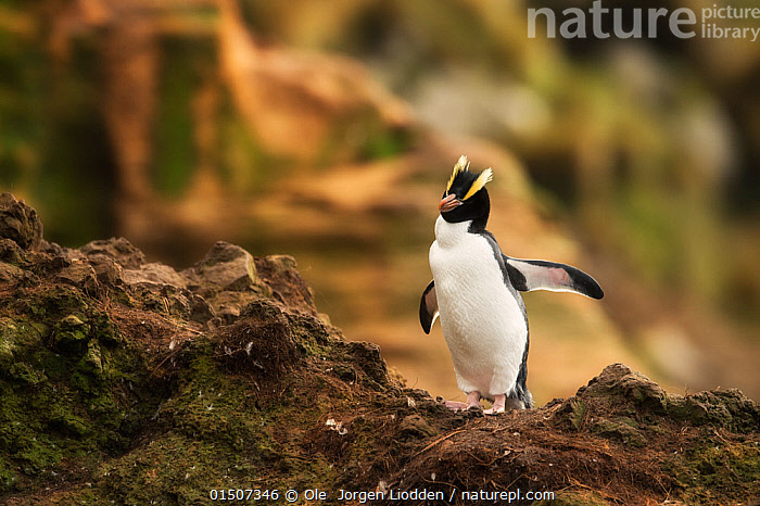 Erect-crested penguin (Eudyptes sclateri) portrait on rocks, Antipodes Island, Sub-Antarctic New Zealand, March. Endangered species.  ,  high15,,Animal,Vertebrate,Bird,Birds,Penguin,Big crested penguin,Animalia,Animal,Wildlife,Vertebrate,Aves,Bird,Birds,Sphenisciformes,Penguin,Seabird,Spheniscidae,Eudyptes,Eudyptes sclateri,Big crested penguin,Erect crested penguin,Walking,Busy,On The Move,Alone,Solitude,Solitary,Nobody,Vertical,Wing,Wings,Rock,Outdoors,Open Air,Outside,Day,Exploration,Nature,Natural,Natural World,Endangered Species,Threatened,Subantarctic islands,Negative space,Moving,Antipodes Island,Sub-antarctic New Zealand,Marine bird,Marine birds,Pelagic bird,Pelagic birds,Flightless,Endangered species,threatened,Endangered  ,  Ole  Jorgen Liodden