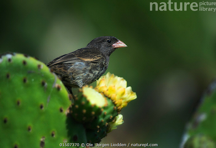 Sharp-beaked ground finch (Geospiza difficilis) on Opuntia cactus, Galapagos Islands. Endemic., Animal,Vertebrate,Birds,Songbird,Tanager,Darwin's finch,Sharp beaked ground finch,Animalia,Animal,Wildlife,Vertebrate,Aves,Birds,Passeriformes,Songbird,Passerine,Thraupidae,Tanager,Geospiza,Darwin's finch,Geospiza difficilis,Sharp beaked ground finch,Latin America,South America,Galapagos Islands,Galapagos,The Galapagos,The Galapagos Islands,Copy Space,Vertical,Plant,Flower,Biodiversity hotspot,Negative space, Ole  Jorgen Liodden