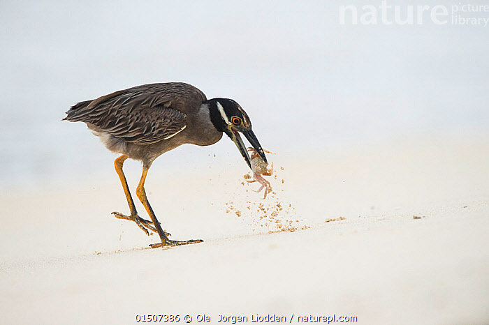 Yellow-crowned night heron (Nyctanassa violacea pauper) catching Ghost crab (Ocypode) on  beach, Galapagos.  ,  catalogue8,,Animal,Crustacean,Decapod,Crab,Ghost crab,Animalia,Animal,Wildlife,Crustracea,Crustacean,Malacostraca,Decapoda,Decapod,Ocypodidae,Crab,Ocypode,Ghost crab,Standing,On One Leg,Catch,Catches,The End,Closure,Closures,Two,Nobody,Latin America,South America,Galapagos Islands,Galapagos,The Galapagos,The Galapagos Islands,Full Length,Full Lengths,Whole,Plain Background,White Background,Side View,Beak,Beaks,Beach,Outdoors,Open Air,Outside,Day,Coast,Coastal,Animal Behaviour,Feeding,Predation,Arthropod,Arthropods,Behaviour,Biodiversity hotspot,Invertebrate,Two animals,Holding in mouth,Marine  ,  Ole  Jorgen Liodden