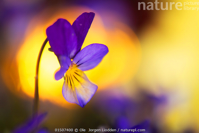 Heartsease / Wild pansy (Viola tricolor) flower, Norway, May., high15,,Plant,Vascular plant,Flowering plant,Rosid,Violet,Heartsease,Plantae,Plant,Tracheophyta,Vascular plant,Magnoliopsida,Flowering plant,Angiosperm,Seed plant,Spermatophyte,Spermatophytina,Angiospermae,Malpighiales,Rosid,Dicot,Dicotyledon,Rosanae,Violaceae,Viola,Violet,Viola tricolor,Heartsease,Heart's ease,Wild pansy,Pansy violet,Optimism,Optimistic,Colour,Purple,Yellow,Colourful,Colorful,Nobody,Vibrant Colour,Europe,Northern Europe,North Europe,Nordic Countries,Scandinavia,Norway,Flower,Flowers,Outdoors,Open Air,Outside,Spring,Day,Beautiful,Nature,Natural,Natural World,Beauty In Nature,One Object,Flowerhead,Yellow Colour,, Ole  Jorgen Liodden