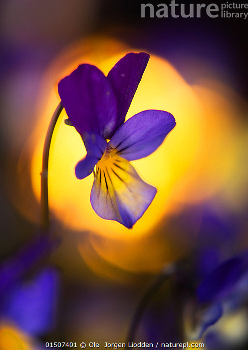 Heartsease / Wild pansy (Viola tricolor) flower, Norway, May.  ,  catalogue8,,Plant,Vascular plant,Flowering plant,Rosid,Violet,Heartsease,Plantae,Plant,Tracheophyta,Vascular plant,Magnoliopsida,Flowering plant,Angiosperm,Seed plant,Spermatophyte,Spermatophytina,Angiospermae,Malpighiales,Rosid,Dicot,Dicotyledon,Rosanae,Violaceae,Viola,Violet,Viola tricolor,Heartsease,Heart's ease,Wild pansy,Pansy violet,Energetic,Optimism,Optimistic,Colour,Purple,Yellow,Colourful,Colorful,Nobody,Vibrant Colour,Europe,Northern Europe,North Europe,Nordic Countries,Scandinavia,Norway,Vertical,Close Up,Flower,Flowers,Outdoors,Open Air,Outside,Beautiful,Nature,Natural,Natural World,Beauty In Nature,One Object,Flowerhead,Yellow Colour,  ,  Ole  Jorgen Liodden