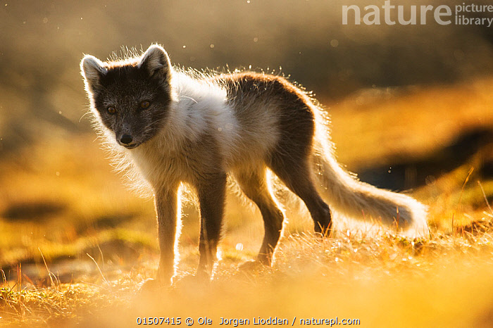 Arctic fox (Alopex lagopus lagopus) mid moult into summer fur, back lit portrait, Spitsbergen, Svalbard, Norway, June., high15,,Animal,Vertebrate,Mammal,Carnivore,Canid,True fox,Arctic fox,Animalia,Animal,Wildlife,Vertebrate,Mammalia,Mammal,Carnivora,Carnivore,Canidae,Canid,Vulpes,True fox,Vulpini,Caninae,Vulpes lagopus,Arctic fox,Polar fox,Blue fox,Ice fox,White fox,Alopex lagopus,Canis lagopus,Shaking,Standing,Change,Changes,Changing,Transform,Transformation,Transformed,Transforming,Transforms,Nobody,Wet,Europe,Northern Europe,North Europe,Nordic Countries,Scandinavia,Norway,Svalbard,Arctic,Polar,Front View,View From Front,Back Lit,Backlit,Hair,Fur,Light,Lights,Sunlight,Outdoors,Open Air,Outside,Day,Colour-phases,Summer coat,Moulting,Moults,Moult,Molting,Spitsbergen,Animal Hair,Summer Fur,, Ole  Jorgen Liodden