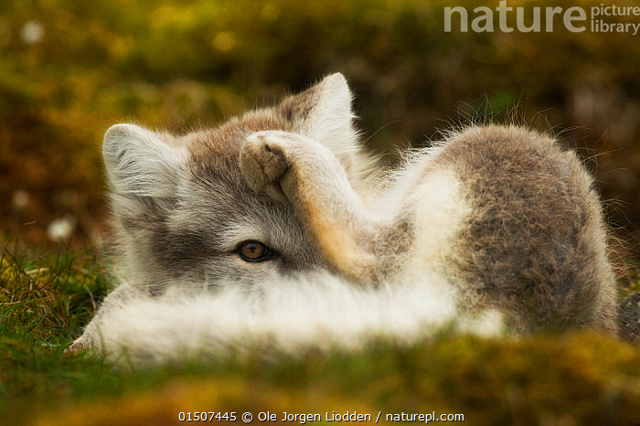 Arctic fox (Alopex lagopus lagopus) grooming in summer fur, Spitsberg, Svalbard, Norway, August., high15,,Animal,Vertebrate,Mammal,Carnivore,Canid,True fox,Arctic fox,Animalia,Animal,Wildlife,Vertebrate,Mammalia,Mammal,Carnivora,Carnivore,Canidae,Canid,Vulpes,True fox,Vulpini,Caninae,Vulpes lagopus,Arctic fox,Polar fox,Blue fox,Ice fox,White fox,Alopex lagopus,Canis lagopus,Grooming,Hiding,Reaching,Reach,Reaches,Resting,Rest,Flexibility,Nobody,Europe,Northern Europe,North Europe,Nordic Countries,Scandinavia,Norway,Svalbard,Arctic,Polar,Close Up,Animal Eye,Animal Eyes,Eye,Eyes,Animal Limbs,Limb,Animal Legs,Legs,Leg,Hind Leg,Hind Legs,Hair,Fur,Hide And Seek,Hide And Seek Game,Hide And Seek Games,Hide-And-Seek,Hide-And-Seek Game,Hide-And-Seek Games,Outdoors,Open Air,Outside,Summer,Day,Eyesight,Sight,Animal Behaviour,Playing,Colour-phases,Summer coat,Behaviour,Play,Playful,Moulting,Moults,Moult,Molting,Direct Gaze,Using Senses,Spitsbergen,Animal Hair,, Ole  Jorgen Liodden