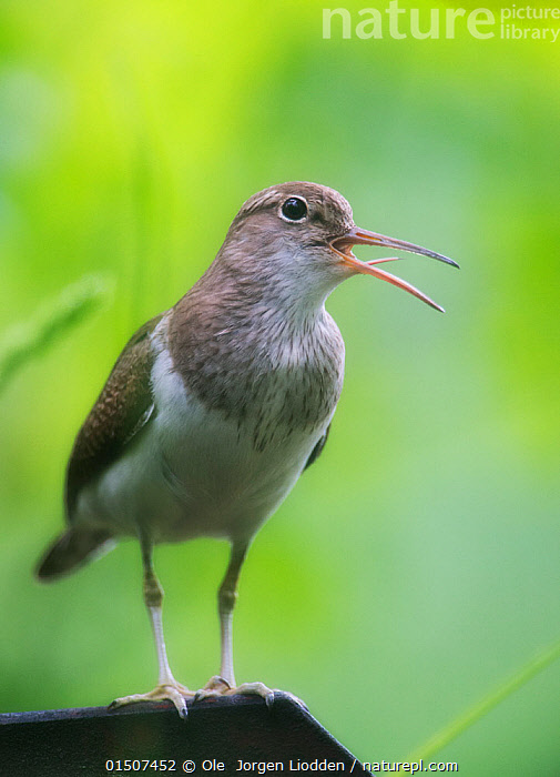 Common sandpiper (Actitis hypoleucos) singing with tongue visible, Norway, June.  ,  high15,,Animal,Vertebrate,Bird,Birds,Sandpiper,Common sandpiper,Animalia,Animal,Wildlife,Vertebrate,Aves,Bird,Birds,Charadriiformes,Scolopacidae,Sandpiper,Wader,Shorebird,Actitis,Actitis hypoleucos,Common sandpiper,Eurasia sandpiper,Vocalisation,Calling,Call,Sing,Honesty,Nobody,Europe,Northern Europe,North Europe,Nordic Countries,Scandinavia,Norway,Coloured Background,Green Background,Full Length,Full Lengths,Whole,Vertical,Front View,View From Front,Portrait,Mouth,Beak,Beaks,Outdoors,Open Air,Outside,Day,Communication,Communicating,Animal Behaviour,Behaviour,Open Mouth,  ,  Ole  Jorgen Liodden