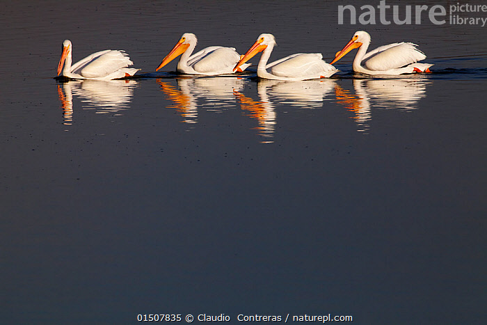 American white pelican (Pelecanus erythrorhynchos) group of four, Xochimilco wetlands, Mexico City, March, Animal,Vertebrate,Birds,Pelican,American white pelican,Animalia,Animal,Wildlife,Vertebrate,Aves,Birds,Pelecaniformes,Pelecanidae,Pelican,Pelecanus,Pelecanus erythrorhynchos,American white pelican,Rough billed pelican,Few,Four,Group,Latin America,Central America,Mexico,Mexico City,Copy Space,Reflection,Freshwater,Wetland,Water,Negative space,Seabird,Seabirds,Marine bird,Marine birds,Pelagic bird,Pelagic birds, Claudio  Contreras