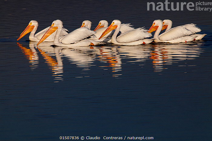 American white pelican (Pelecanus erythrorhynchos) group swimming together. Xochimilco wetlands, Mexico City, Mexico. March, Animal,Vertebrate,Birds,Pelican,American white pelican,Animalia,Animal,Wildlife,Vertebrate,Aves,Birds,Pelecaniformes,Pelecanidae,Pelican,Pelecanus,Pelecanus erythrorhynchos,American white pelican,Rough billed pelican,Group,Latin America,Central America,Mexico,Mexico City,Copy Space,Reflection,Freshwater,Wetland,Water,Negative space,Seabird,Seabirds,Marine bird,Marine birds,Pelagic bird,Pelagic birds, Claudio  Contreras