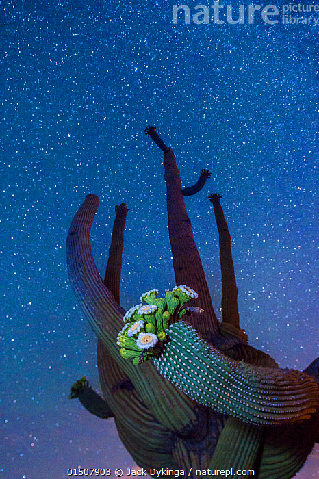 Saguaro cactus (Carnegiea gigantea) in flower at night, with The Milky Way behind, Sonoran Desert National Monument, Sierra Estrella Mountain Wilderness, Arizona, USA, May.  ,  catalogue8,,Plant,Vascular plant,Flowering plant,Dicot,Cactus,Saguaro,Saguaro cactus,American,Plantae,Plant,Tracheophyta,Vascular plant,Magnoliopsida,Flowering plant,Angiosperm,Seed plant,Spermatophyte,Spermatophytina,Angiospermae,Caryophyllales,Dicot,Dicotyledon,Caryophyllanae,Centrospermae,Cactaceae,Cactus,Carnegiea,Saguaro,Carnegiea gigantea,Saguaro cactus,Cereus giganteus,Pilocereus engelmannii,Pilocereus giganteus,Reaching,Reach,Reaches,Stretching,Bizarre,Weird,Growth,Grow,Growing,Grows,Nobody,Height,Tall,High,North America,USA,Western USA,Southwest US,Arizona,Vertical,Low Angle View,Flower,Flowers,Succulent,Succulents,Cacti,Outer Space,The Universe,Galaxy,Galaxies,Stars,Outdoors,Open Air,Outside,Starry,Milky Way,American,Mutant Nature,United States of America,Sonoran Desert National Monument,  ,  Jack Dykinga