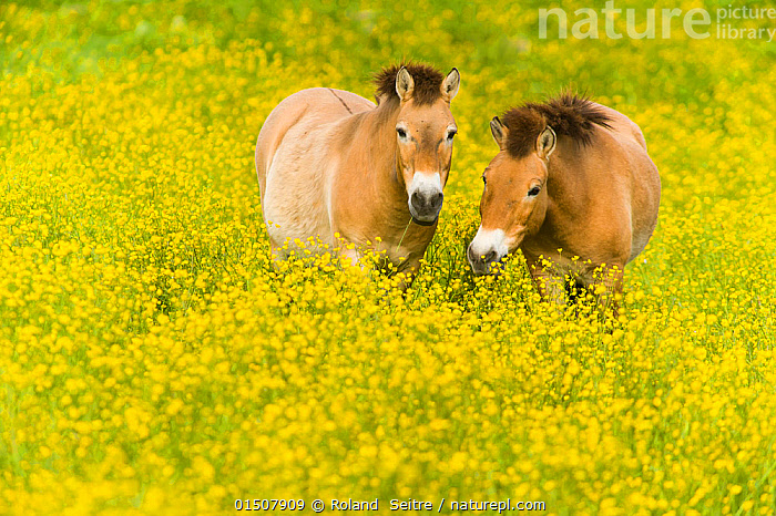 Przewalski's horse (Equus ferus przewalskii) grazing in buttercups, Parc de la Haute Touche, Obterre, France. May. Captive, occurs in Central Asia.  ,  Animal,Vertebrate,Mammal,Odd toed ungulate,Wild Horse,Przewalski's horse,Animalia,Animal,Wildlife,Vertebrate,Mammalia,Mammal,Perissodactyla,Odd toed ungulate,Equidae,Equus,Equus ferus,Wild Horse,Horse,Colour,Yellow,Two,Asia,Central Asia,Plant,Flower,Spring,Equus ferus przewalskii,Przewalski's horse,Dzungarian horse,Endangered,Threatened,Endangered species  ,  Roland  Seitre