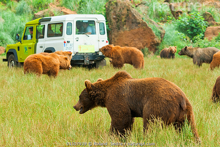 Brown bear (Ursus arctos) group in zoo, around keepers car, Cabarceno Natural Park, Spain. Captive, occurs in North America and Eurasia.  ,  Animal,Vertebrate,Mammal,Carnivore,Bear,Brown Bear,Animalia,Animal,Wildlife,Vertebrate,Mammalia,Mammal,Carnivora,Carnivore,Ursidae,Bear,Ursus,Ursus arctos,Brown Bear,People,Group  ,  Roland  Seitre