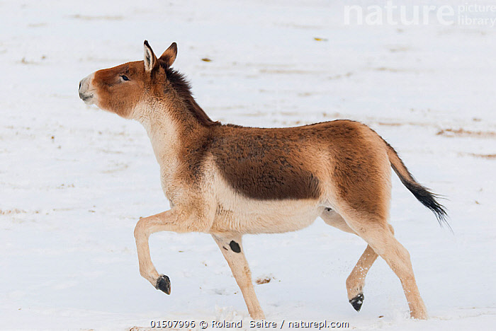 Tibetan wild ass (Equus kiang) in snow. Captive at Moscow Zoo breeding station. Occurs on the Tibetan plateau..  ,  Animal,Vertebrate,Mammal,Odd toed ungulate,Tibetan wild ass,Animalia,Animal,Wildlife,Vertebrate,Mammalia,Mammal,Perissodactyla,Odd toed ungulate,Equidae,Equus,Equus kiang,Tibetan wild ass,Walking,Trotting,Pride,Proud,Asia,East Asia,Snow  ,  Roland  Seitre