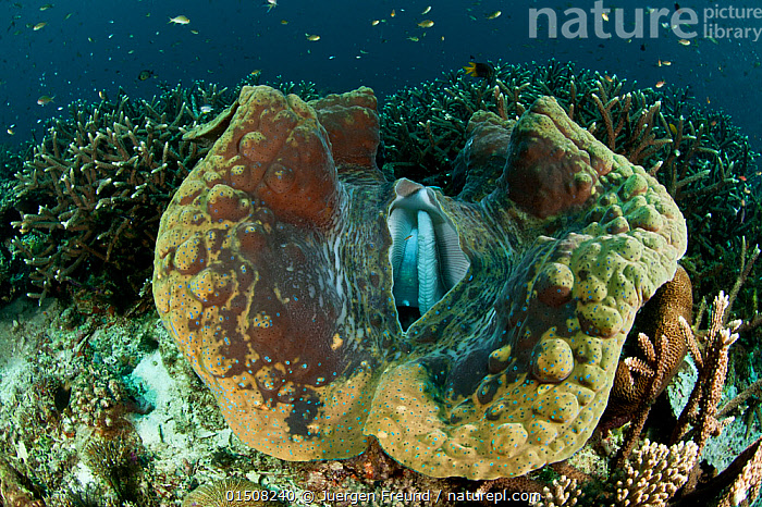 Giant clam (Tridacna gigas) Raja Ampat, West Papua, Indonesia., high15,,Animal,Mollusc,Bivalve,Verneroid,Giant clam,Animalia,Animal,Wildlife,Mollusca,Mollusc,Bivalvia,Bivalve,Veneroida,Verneroid,Cardiidae,Tridacna,Giant clam,Tridacna gigas,Chama gigantea,Chama gigas,Opening,Nobody,Rough,Coarse,Uneven,Oceania,Melanesia,New Guinea,Close Up,Tropical,Sea Floor,Seabed,Reef,Reefs,Coral Reef,Coral Reefs,Ocean,Pacific Ocean,Marine,Underwater,Water,Indo Pacific,Saltwater,West Irian Jaya,Irian Jaya,Indonesia,Tropics,Bookplate,The Unknown,One Object,Sci-fi,Wildlife Under the Waves,Invertebrate,Invertebrates, Jurgen Freund