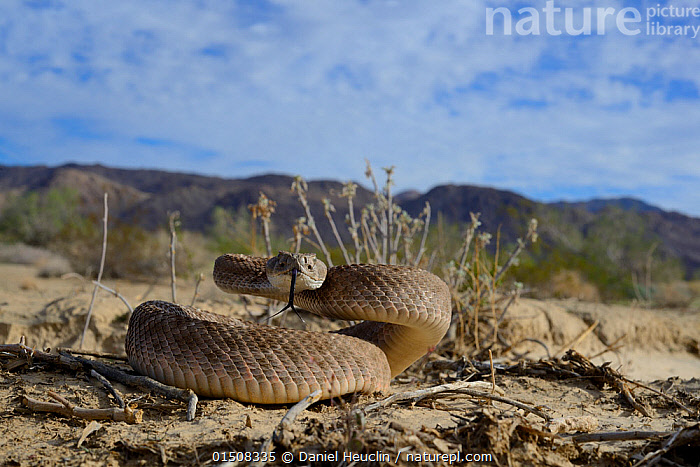 Western diamondback rattlesnake (Crotalus atrox) tasting air, in habitat, Arizona, USA, October. Controlled conditions  ,  high15,,Animal,Vertebrate,Reptile,Squamate,Viper,Rattlesnake,Western diamondback rattlesnake,American,Animalia,Animal,Wildlife,Vertebrate,Reptilia,Reptile,Squamata,Squamate,Viperidae,Viper,Viperid snakes,Snake,Crotalus,Rattlesnake,Rattler,Pitviper,Pit viper,Crotalus atrox,Western diamondback rattlesnake,Crotalus confluentus,Crotalus tortugensis,Hoserea atrox,Tasting,Flavor,Flavour,Taste,Trying,Smelling,Sniffing,Threat,Menace,Menaces,Menacing,Threatening,Threats,Nobody,Dry,Arid,North America,USA,Western USA,Southwest US,Arizona,Close Up,Front View,View From Front,Desert,Deserts,Outdoors,Open Air,Outside,Day,Habitat,Sensory organ,Direct Gaze,Coiled,Curled up,Using Senses,American,United States of America,Venomous  ,  Daniel  Heuclin