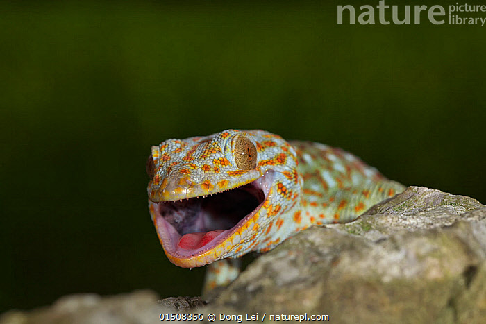 Tokay gecko (Gekko gecko) with mouth open, Guangxi province, China, July.  ,  Animal,Vertebrate,Reptile,Squamate,Gecko,Tokay gecko,Animalia,Animal,Wildlife,Vertebrate,Reptilia,Reptile,Squamata,Squamate,Gekkonidae,Gecko,Lizard,Gekko,Gekko gecko,Tokay gecko,Lacerta Gecko,Gekko verticillatus,Gekko teres,Asia,East Asia,China,Guangxi,Portrait,Mouth  ,  Dong Lei