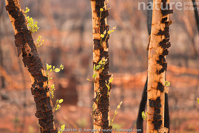 Fresh growth on scorched Eucalyptus ( Eucalyptus sp) tree, after bush fire, Queensland