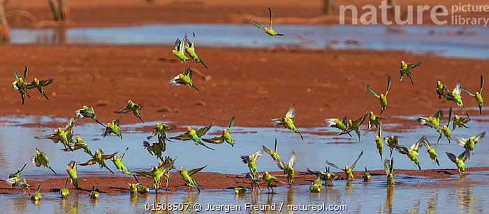 Flock of Budgerigars (Melopsittacus undulatus ) drinking in an outback dam, Northern Territory, Australia., high15,,Animal,Vertebrate,Bird,Birds,Parrot,True parrot,Budgerigar,Animalia,Animal,Wildlife,Vertebrate,Aves,Bird,Birds,Psittaciformes,Parrot,Psittacines,Psittaculidae,True parrot,Psittacoidea,Melopsittacus,Budgerigar,Lory,Lorikeet,Melopsittacini,Loriinae,Melopsittacus undulatus,Shell parakeet,Common pet parakeet,Flying,Togetherness,Close,Together,Colour,Green,Group Of Animals,Flock,Flocking,Flocks,Group,Large Group,Nobody,Australasia,Australia,Northern Territory,Panoramic,Infrastructure,Water Management Infrastructure,Water Storage Structure,Water Storage Structures,Dam,Dams,Desert,Deserts,Outdoors,Open Air,Outside,Day,Water,Drinking,Multitude,Flight,Green colour,Puddle,Outback,Flock of birds,, Jurgen Freund