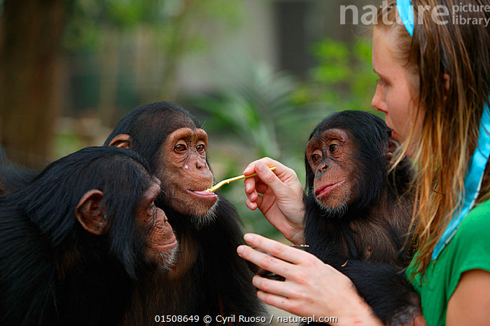 Volunteer feeding young Chimpanzees (Pan troglodytes) Pandrillus Sanctury Rehabilitation Centre,  Nigeria., high15,,Animal,Vertebrate,Mammal,Ape,Chimpanzee,Animalia,Animal,Wildlife,Vertebrate,Mammalia,Mammal,Primate,Primates,Hominidae,Ape,Greater apes,Hominoidea,Pan,Pan troglodytes,Chimpanzee,Common Chimpanzee,Robust Chimpanzee,People,European Descent,Caucasian Ethnicity,Woman,Dependency,Dependancy,Few,Three,Group,1 Person,Single,Single Person,Africa,West Africa,Nigeria,Federal Republic of Nigeria,Young Animal,Juvenile,Babies,Equipment,Utensil,Tableware,Cutlery,Silverware,Spoon,Spoons,Outdoors,Open Air,Outside,Day,Feeding,Conservation,Animal rehabilitation,Volunteer,Volunteering,Volunteers,Rehabilitation,Wildlife conservation,Protected area,West African,Three Animals,Animal orphan,Orphan,Sanctuary,Pandrillus Sanctuary,Endangered species,Endangered,Threatened,,Great apes,, Cyril Ruoso