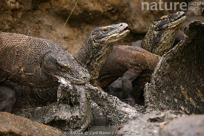 Komodo dragons (Varanus komodoensis) scavenging Water buffalo carcass. Rinca Island, Komodo National Park, Indonesia., high15,,Animal,Vertebrate,Reptile,Squamate,Lizard,Monitor lizard,Komodo Dragon,Animalia,Animal,Wildlife,Vertebrate,Reptilia,Reptile,Squamata,Squamate,Varanidae,Lizard,Varanus,Monitor lizard,Monitor,Varanus komodoensis,Komodo Dragon,Komodo Monitor,Ora,Hunger,Appetite,Hungry,Dead,Dead Animal,Carcass,Group,Nobody,Asia,South East Asia,Indonesia,Outdoors,Open Air,Outside,Day,Predator,Predators,Feeding,Scavenging,Reserve,Death,Biodiversity hotspot,Protected area,National Park,Komodo National Park,Merciless,Rinca,Endangered species,threatened,Vulnerable,,NP,Komodo National Park,UNESCO World Heritage Site,, Cyril Ruoso