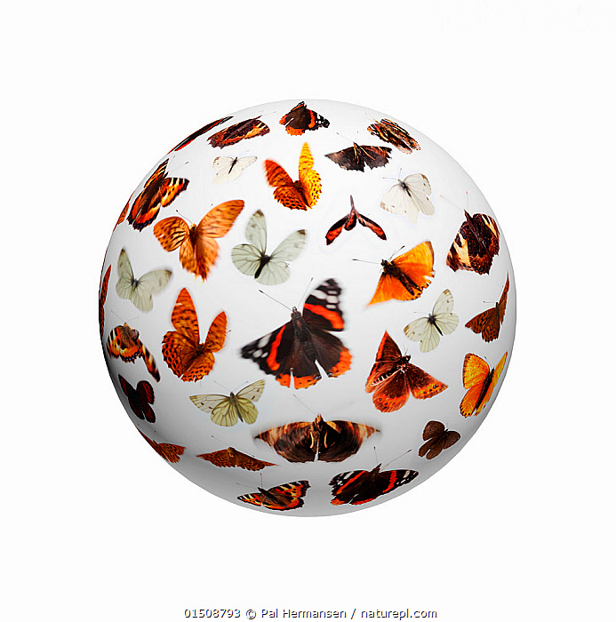 Composite of flying butterflies (Lepidoptera) on sphere.  ,  high15,,Animal,Arthropod,Insect,Animalia,Animal,Wildlife,Hexapoda,Arthropod,Invertebrate,Hexapod,Arthropoda,Insecta,Insect,Lepidoptera,Lepidopterans,Flying,Variation,Colour,Orange,White,Group,Nobody,Shape,Shapes,Geometric,3D Shape,3-D Shape,3-D Shapes,3D Shapes,Sphere,Orb,Orbs,Spheres,Plain Background,White Background,Close Up,Equipment,Navigational Equipment,Navigation,Navigation Equipment,Globe,Globes,World,Outer Space,The Universe,Planet,Planets,Indoors,Studio Shot,Studio Shots,Nature,Natural,Natural World,Wild,Flight,White colour,One Object,Collection,  ,  Pal Hermansen