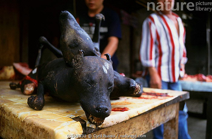 Dog meat for sale in Tomohon market, Celebes, Indonesia., Canis familiaris,Asia,South East Asia,Indonesia,Animal,Food,Meat,Meats,Domestic animal,Death,Domestic Dog,Biodiversity hotspot,Canis familiaris,Dog,Mammal,Controversial, Cyril Ruoso