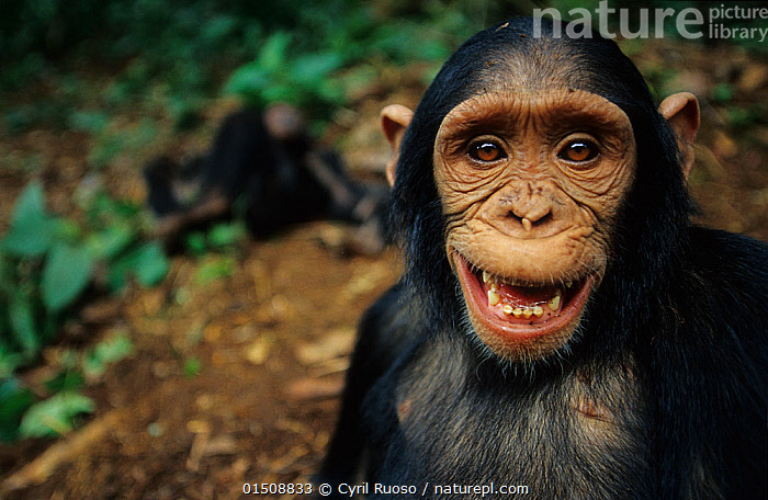 Chimpanzee (Pan troglodytes) close up portrait, Bakoumba sanctuary, Gabon. Non-ex, high15,,Animal,Vertebrate,Mammal,Ape,Chimpanzee,Animalia,Animal,Wildlife,Vertebrate,Mammalia,Mammal,Primate,Primates,Hominidae,Ape,Greater apes,Hominoidea,Pan,Pan troglodytes,Chimpanzee,Common Chimpanzee,Robust Chimpanzee,Mischief,Happiness,Nobody,Facial Expression,Laughing,Mouth Open,Smiling,Africa,Central Africa,Gabon,Gabonese Republic,Close Up,Portrait,Outdoors,Open Air,Outside,Day,Direct Gaze,Bakoumba Sanctuary,Endangered species,Endangered,Threatened,,Great apes,, Cyril Ruoso