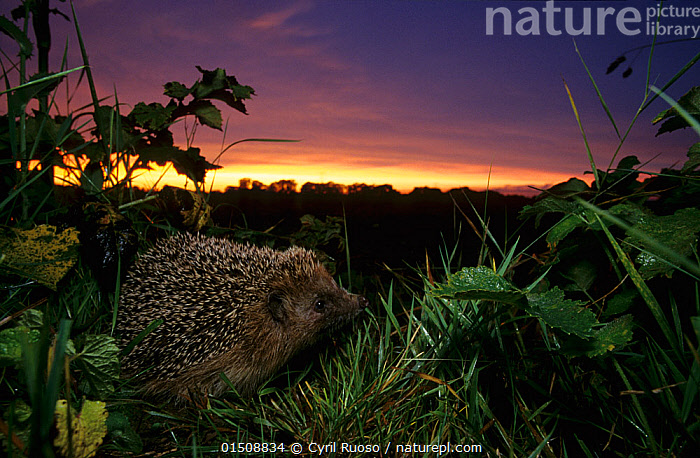 European hedgehog (Erinaceus europaeus) at dusk, Picardy, France. Non-ex, catalogue8,,Animal,Vertebrate,Mammal,Hedgehog,Northern Hedgehog,Animalia,Animal,Wildlife,Vertebrate,Mammalia,Mammal,Erinaceomorpha,Erinaceidae,Hedgehog,Erinaceus,Erinaceus europaeus,Northern Hedgehog,Western European Hedgehog,Western Hedgehog,Smelling,Sniffing,Curiosity,Cute,Adorable,Colour,Purple,Yellow,Nobody,Luminosity,Glow,Glows,Europe,Western Europe,France,Picardy,Close Up,Side View,Horizon,Outdoors,Open Air,Outside,Twilight,Evening,Night,Nocturnal,Nature,Natural,Natural World,Wild,Habitat,Forest,Picardie,Dusk,Using Senses,Yellow Colour,Undergrowth,, Cyril Ruoso