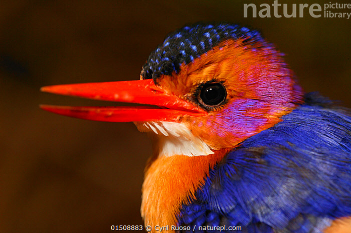 Pygmy kingfisher (Ceyx picta) portrait, Cross River State, Nigeria. Non-ex, high15,,Animal,Vertebrate,Bird,Birds,River kingfisher,African pygmy kingfisher,Animalia,Animal,Wildlife,Vertebrate,Aves,Bird,Birds,Coraciiformes,Alcedinidae,River kingfisher,Kingfisher,Ispidina,Ispidina picta,African pygmy kingfisher,Pygmy kingfisher,Miniature kingfisher,Ceyx pictus,Alertness,Alert,Colour,Orange,Colourful,Colorful,Nobody,Vibrant Colour,Pattern,Patterned,Patterns,Africa,West Africa,Nigeria,Federal Republic of Nigeria,Profile,Close Up,Side View,Portrait,Beak,Beaks,Feather,Feathers,Outdoors,Open Air,Outside,Day,Eyesight,Sight,Plumage,West African,Animal marking,Using Senses,Animal portrait,Cross River,, Cyril Ruoso