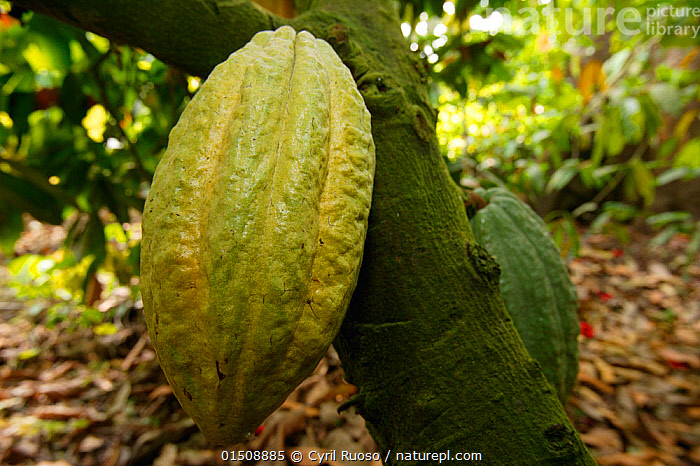 Cocoa plantation (Theobroma cacao) fruit in plantation, Cross River State, Nigeria., Plant,Vascular plant,Flowering plant,Rosid,Mallow,Cocoa tree,Plantae,Plant,Tracheophyta,Vascular plant,Magnoliopsida,Flowering plant,Angiosperm,Seed plant,Spermatophyte,Spermatophytina,Angiospermae,Malvales,Rosid,Dicot,Dicotyledon,Rosanae,Malvaceae,Mallow,Mauve,Theobroma,Theobroma cacao,Cocoa tree,Cacao tree,Cacao minar,Theobroma sativum,Theobroma leiocarpum,Theobroma pentagonum,Theobroma caribaea,Africa,West Africa,Nigeria,Federal Republic of Nigeria,Farms,Plantations,Fruit,West African,Crop,Crops, Cyril Ruoso