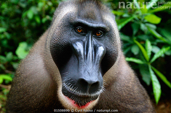 Adult male Drill (Mandrillus leucophaeus) Pandrillus Sanctuary, Nigeria. Non-ex, catalogue8,,Animal,Vertebrate,Mammal,Monkey,Mandrill,Drill,Animalia,Animal,Wildlife,Vertebrate,Mammalia,Mammal,Primate,Primates,Cercopithecidae,Monkey,Old World Monkeys,Mandrillus,Mandrill,Papionini,Mandrillus leucophaeus,Drill,Colour,Black,Nobody,Facial Expression,Africa,West Africa,Nigeria,Federal Republic of Nigeria,Close Up,Front View,View From Front,Portrait,Male Animal,Animal Nose,Nose,Noses,Hair,Fur,Brown Eyes,Brown Eye,Outdoors,Open Air,Outside,Day,Direct Gaze,West African,Animal portrait,Animal Hair,Funny Face,Pandrillus Sanctuary,Endangered species,threatened,Endangered, Cyril Ruoso