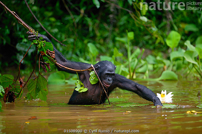 Bonobo (Pan paniscus) foraging in river, Lola Ya Bonobo Sanctuary, Democratic Republic of the Congo.  Non-ex, catalogue8,,Animal,Vertebrate,Mammal,Ape,Bonobo,Animalia,Animal,Wildlife,Vertebrate,Mammalia,Mammal,Primate,Primates,Hominidae,Ape,Greater apes,Hominoidea,Pan,Pan paniscus,Bonobo,Foraging,Wading,Arms Outstretched,Arm Outstretched,Arms Apart,Arms Open,Arms Out,Open Arms,Outstretched Arms,Balance,Caution,Cautious,Curiosity,Nobody,Africa,Central Africa,Democratic Republic of the Congo,Waist Up,Half Length,Plant,Vine,Climbing Plant,Climbing Plants,Vines,Flowing Water,River,Outdoors,Open Air,Outside,Day,Exploration,Nature,Natural,Natural World,Wild,Freshwater,Water,Protected area,Sanctuary,DRC,Lola Ya Bonobo Sanctuary,Endangered species,threatened,Endangered,,Great apes,, Cyril Ruoso